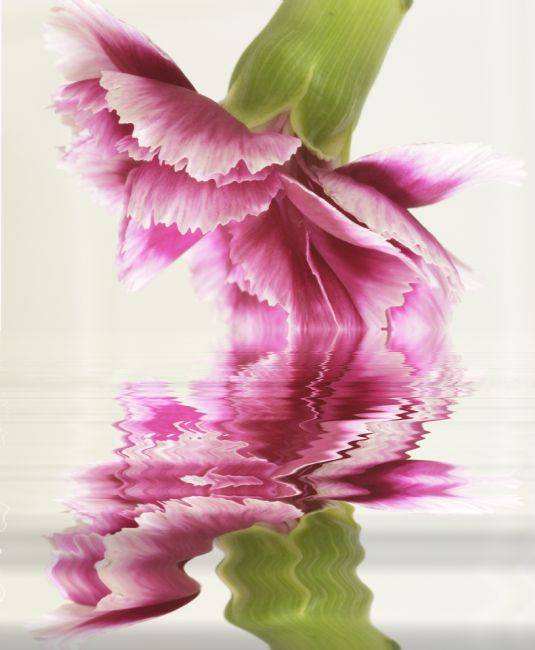 Sandra Cockayne ADPS. | Carnation Reflections