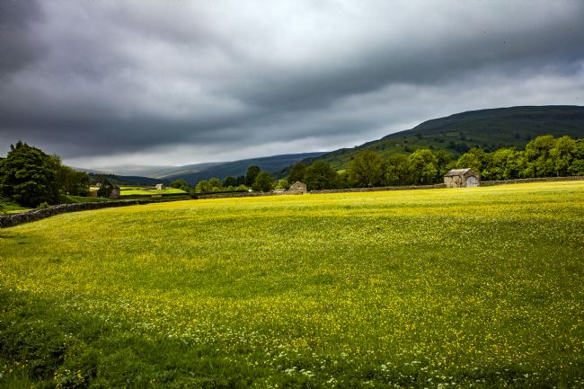 Sandra Cockayne | Huge Meadow Of Buttercups