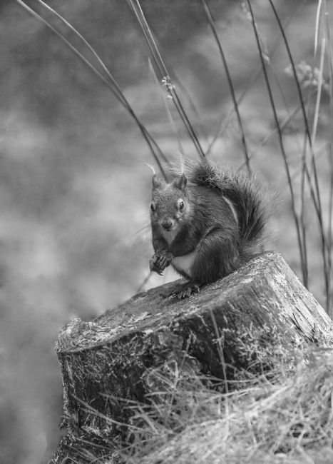 Sandra Cockayne | Red Squirrel in Monochrome