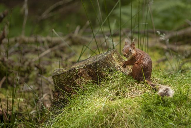 Sandra Cockayne | Red Squirrel VI