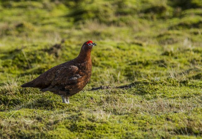 Sandra Cockayne | Male Red Grouse