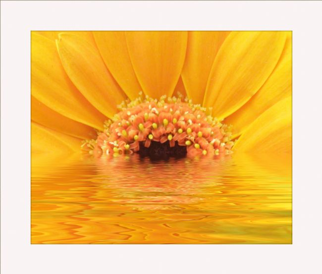 Sandra Cockayne ADPS. | Close Up Yellow Gerbera Reflections