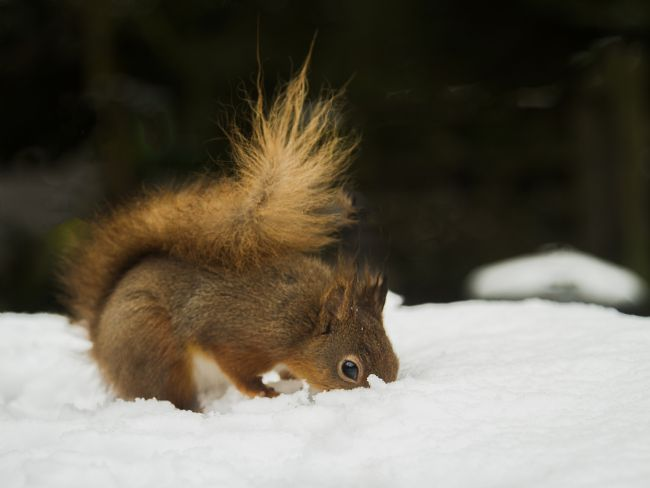 Sandra Cockayne | Red Squirrels In The Snow IV