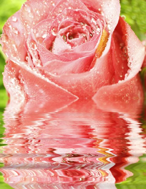 Sandra Cockayne ADPS. | Raindrops On Rose Reflections