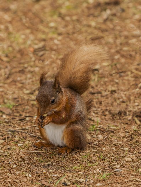 Sandra Cockayne | Red Squirrel IX