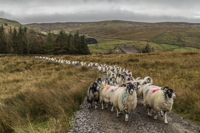 Sandra Cockayne | Swaledale Sheep
