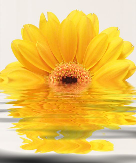 Sandra Cockayne ADPS. | Yellow Gerbera Reflections