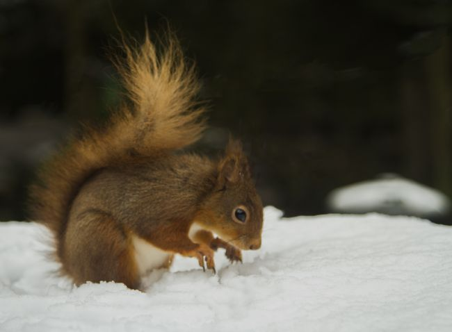 Sandra Cockayne | Red Squirrel In The Snow III