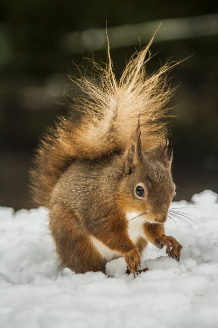 Sandra Cockayne | Red Squirrel In The Snow I