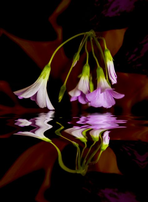 Sandra Cockayne LDPS. | Shamrock Flower (Digital Artwork)