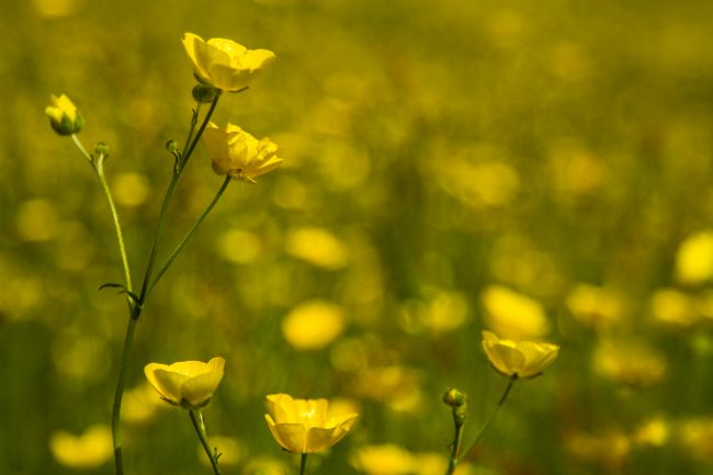 Sandra Cockayne | Liquid Gold Of Buttercups