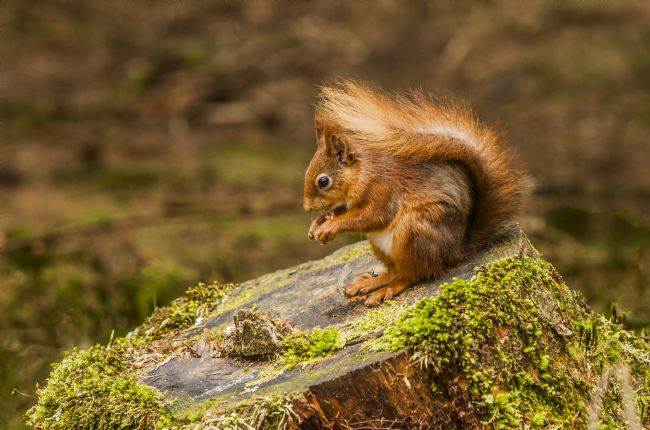 Sandra Cockayne | red Squirrel XII