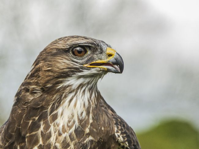 Sandra Cockayne | Portrait of a Common Buzzard