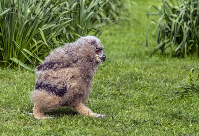 Sandra Cockayne ADPS...... | Morag, the Chick Owl