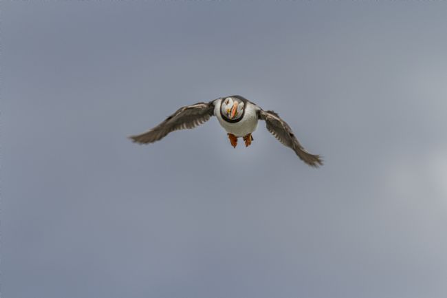 Sandra Cockayne | Puffin In Flight