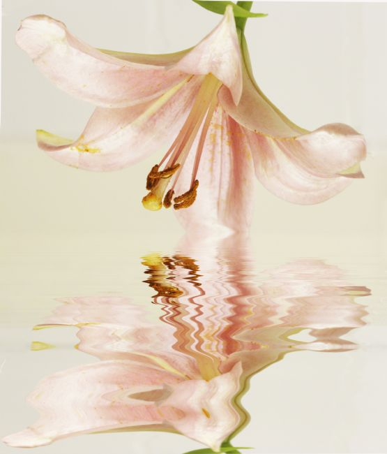 Sandra Cockayne ADPS. | Lovely Lily Reflections
