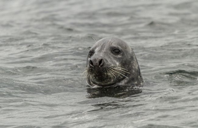 Sandra Cockayne | Grey Seal