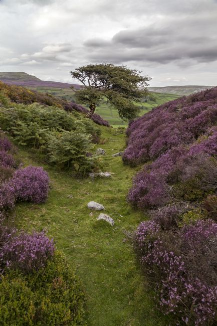 Sandra Cockayne | Moorland Heather