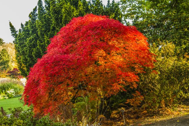 Sandra Cockayne | Bright Red Acer Tree