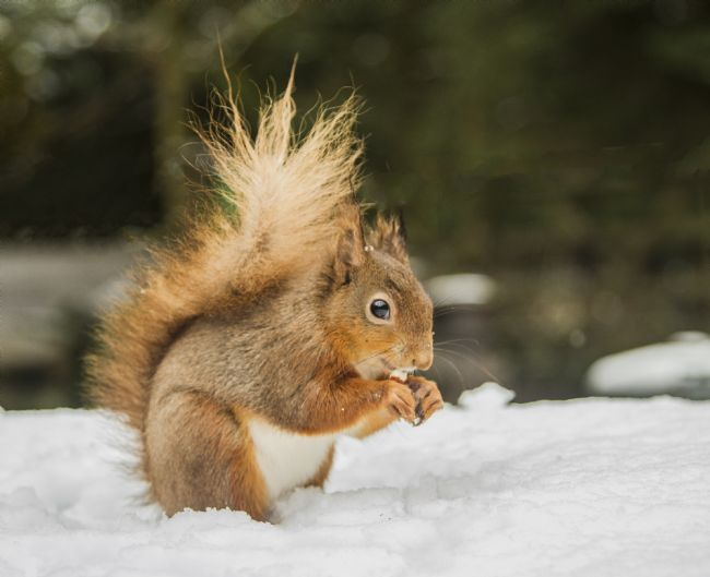 Sandra Cockayne ADPS. | Red Squirrel In The Snow II