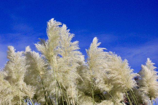 Elvia Worrall | Pampus Grass and Blue Sky