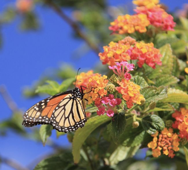 Elvia Worrall | Monarch Butterfly