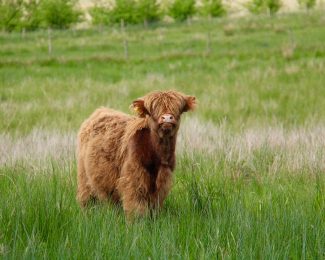 Elvia Worrall | Highland Calf