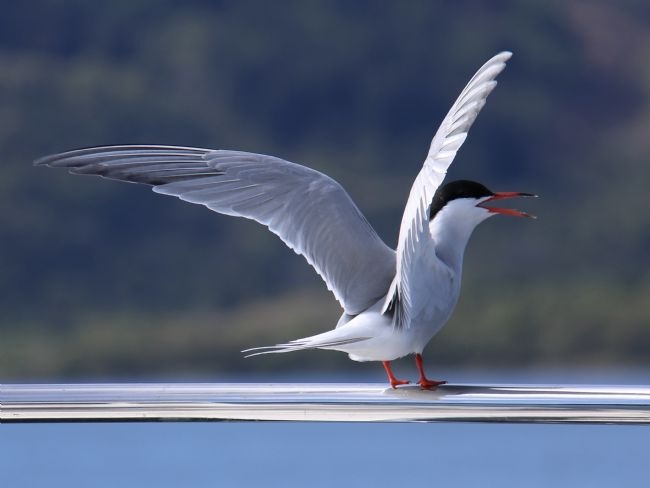 Elvia Worrall | Arctic Tern Displaying