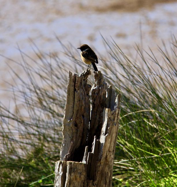Elvia Worrall | Stonechat on tree stump
