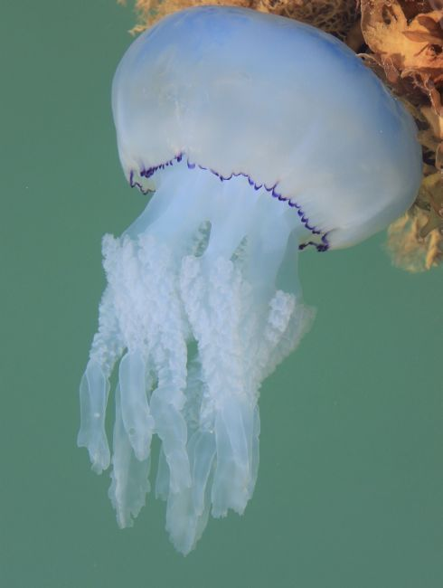 Elvia Worrall | Jelly Fish in the Sea