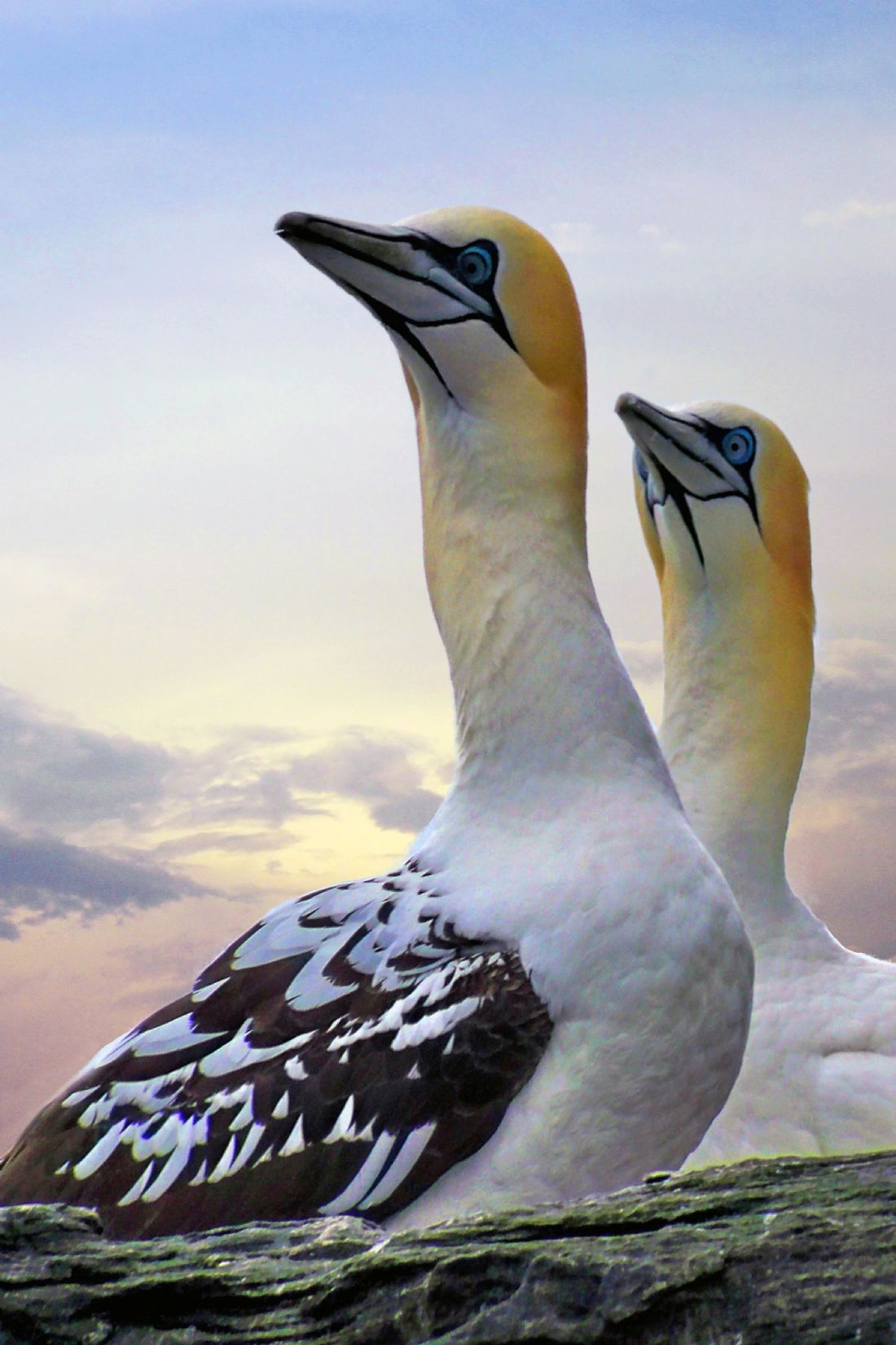 Lynn Bolt | Two Gannets