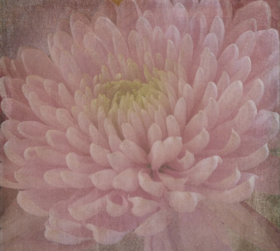 Lynn Bolt | Pink Chrysanthemum