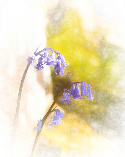 Lynn Bolt | Bluebells