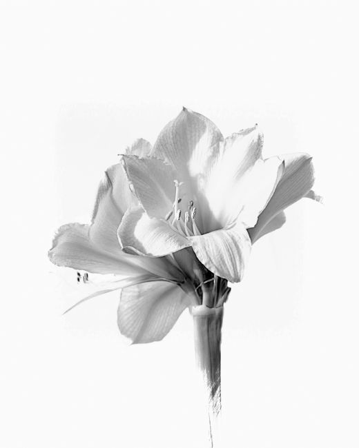 Lynn Bolt | Amaryllis in Black and White
