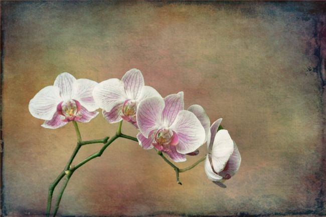 Lynn Bolt | Spray of Orchids