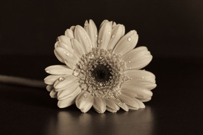 Lynn Bolt | Gerbera in Sepia