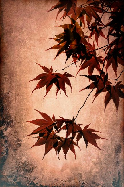 Lynn Bolt | Acer Leaves