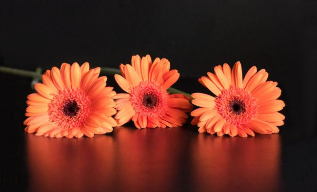Lynn Bolt | Three Gerberas