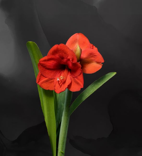 Lynn Bolt | Red Amaryllis