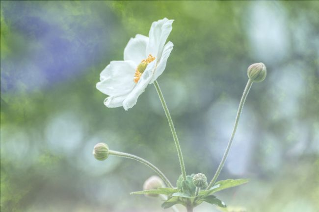 Lynn Bolt | White Japanese Anemone