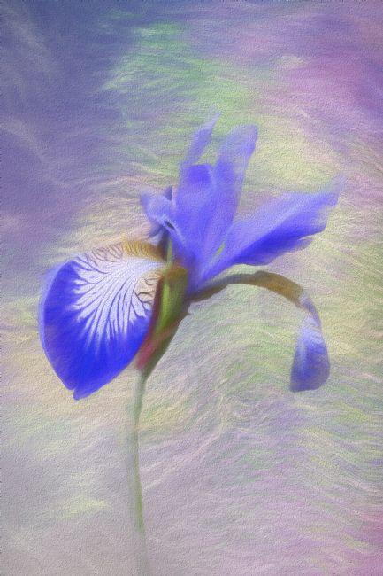 Lynn Bolt | Purple Iris