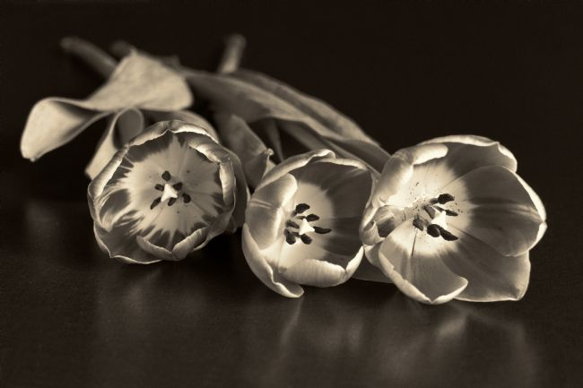 Lynn Bolt | Three Tulips in Sepia