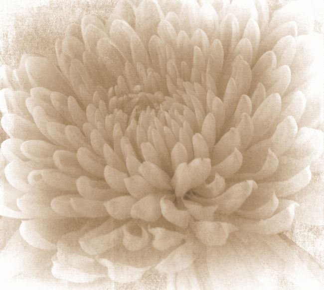Lynn Bolt | Sepia Chrysanthemum