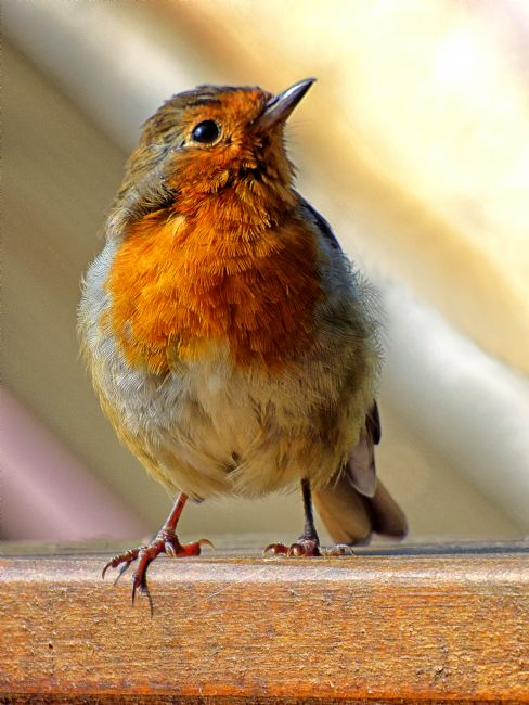Lynn Bolt | Little Robin Redbreast