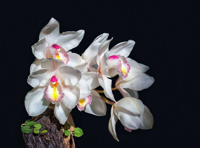 Lynn Bolt | White Orchids