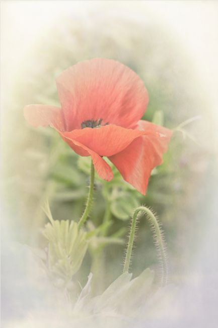Lynn Bolt | Dreamy Poppy
