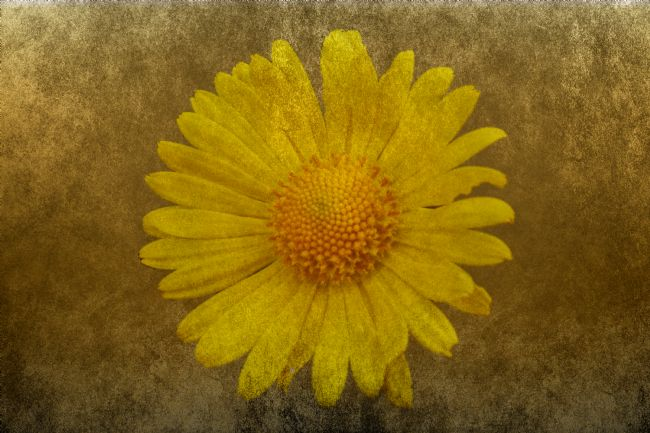 Lynn Bolt | Big Yellow Daisy