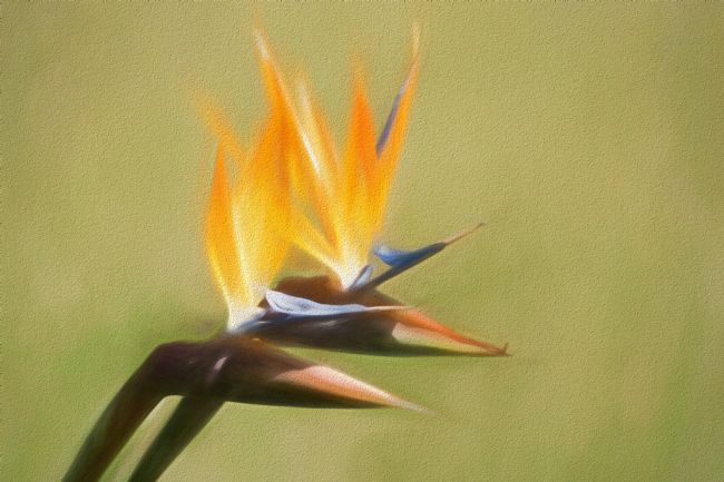 Lynn Bolt | Bird of Paradise Flowers