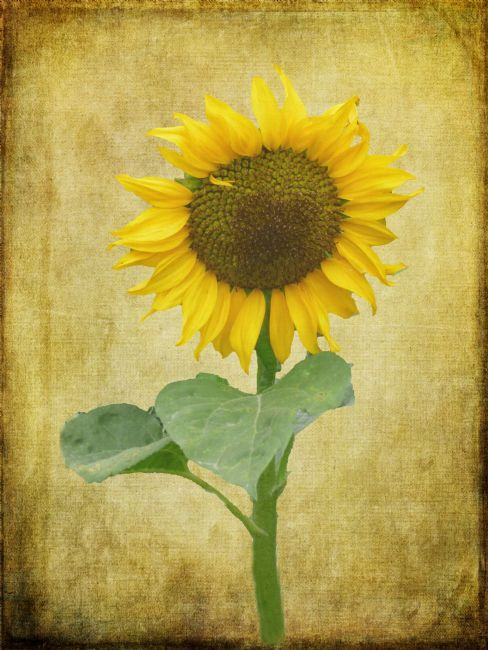 Lynn Bolt | Sunflower