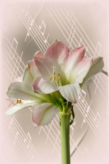 Lynn Bolt | Amaryllis with Music